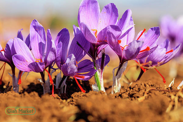 Buy saffron from a farmer at the most reasonable price