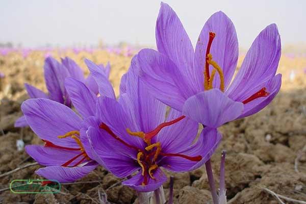 Exporting saffron of Iran