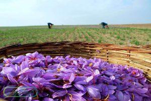 تجارت زعفران سوپر نگین صادراتی و چالش های پیشرو